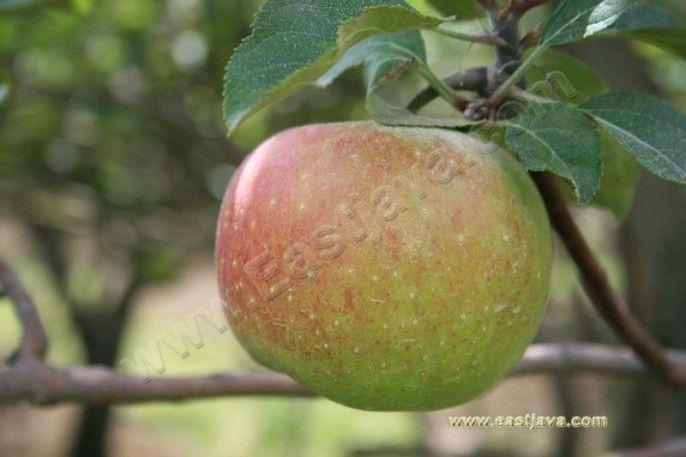 Perkebunan Apel Pasuruan