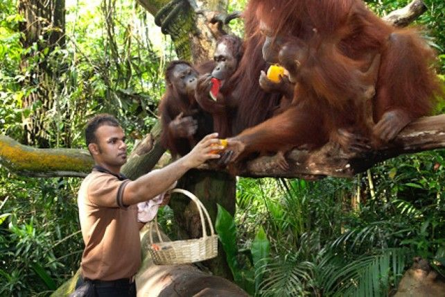 Singapore Zoo: Admission with Tram Rides and Jungle Breakfast with Wildlife