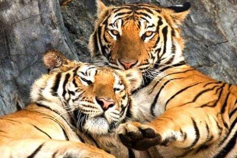 harga tiket Sriracha Tiger Zoo