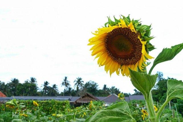 Village Lifestyle at Balik Pulau